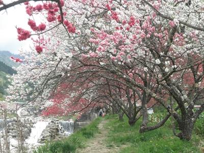 花桃祭り2019の日程と見どころは?私の体験談も!