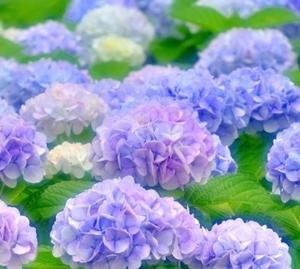 花言葉が紫陽花にはたくさん!花の色でも違います