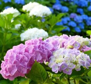 紫陽花の花をピンクにする方法!肥料はどうする?