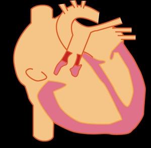 スポーツ心臓の血圧はどれくらい?寿命に影響あるの?